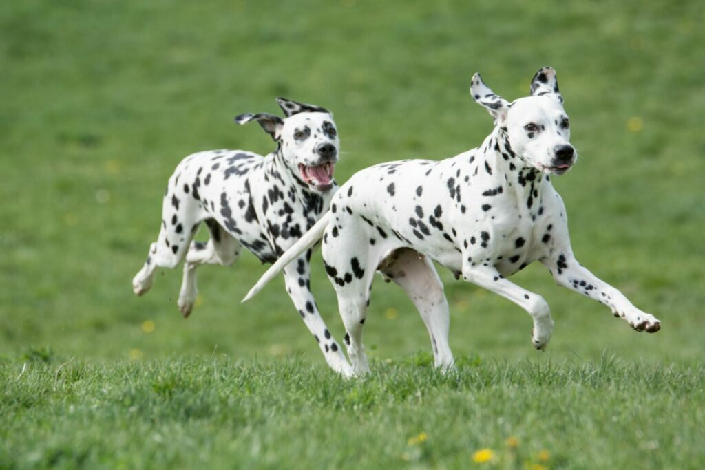 Dalmatiner haben einen großen Bewegungsdrang