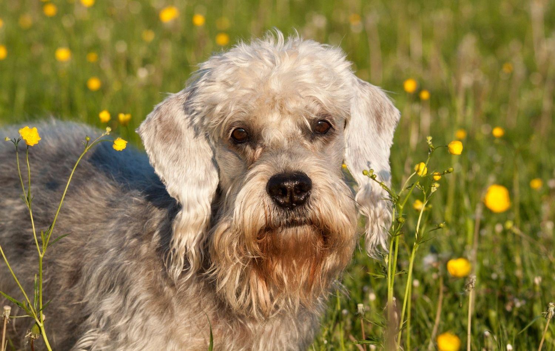 Dandie Dinmont Terrier Kopf