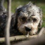 Dandie Dinmont Terrier Welpe