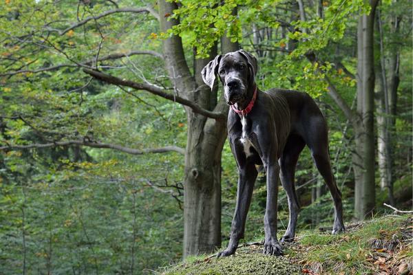 Deutsche Dogge im Wald