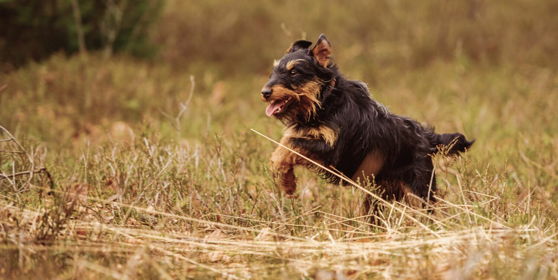 Bewegung ist für die Gesundheit des Deutschen Jagdterriers wichtig