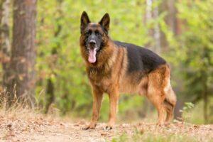 Deutscher Schäferhund in der Natur