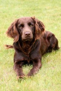 Deutscher Wachtelhundn im Portrait
