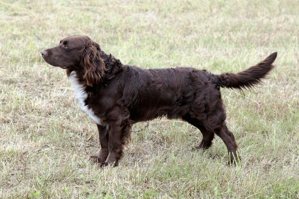 deutscher Wachtelhund von der Seite