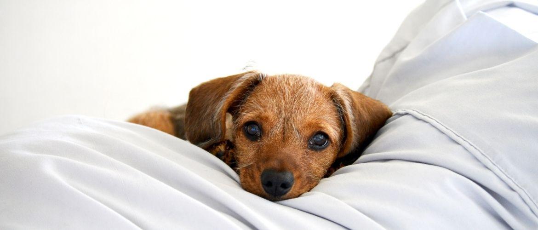 Diabetes beim Hund: Vierbeiner liegt auf Kissen