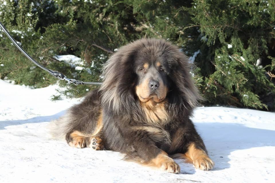 Do Khyi, Tibet Dogge
