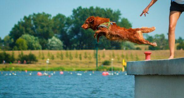 Dog Diving: Brauner Hund springt ins blaue Wasser