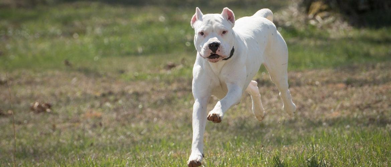 Dogo Argentino im Auslauf