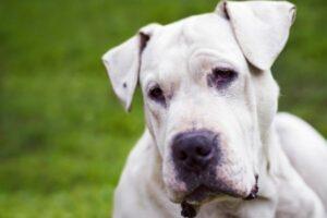 Dogo Argentino Kopf