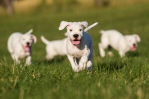 Dogo Argentino Welpe