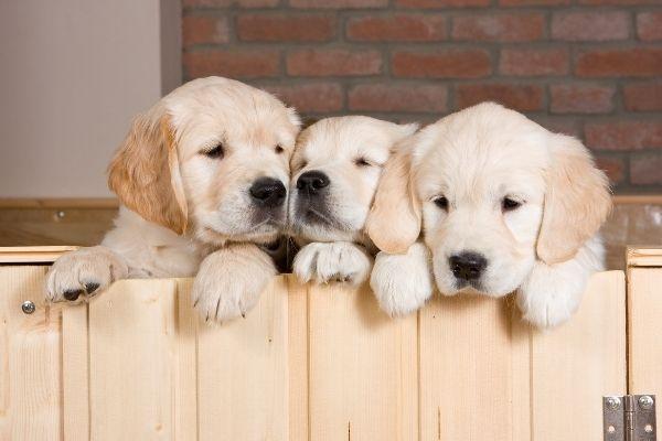 Welpen Erstausstattung: Drei Labrador Welpen