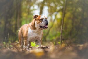Englische Bulldogge im Wald