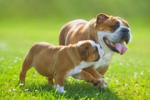 Englische Bulldogge mit Welpen