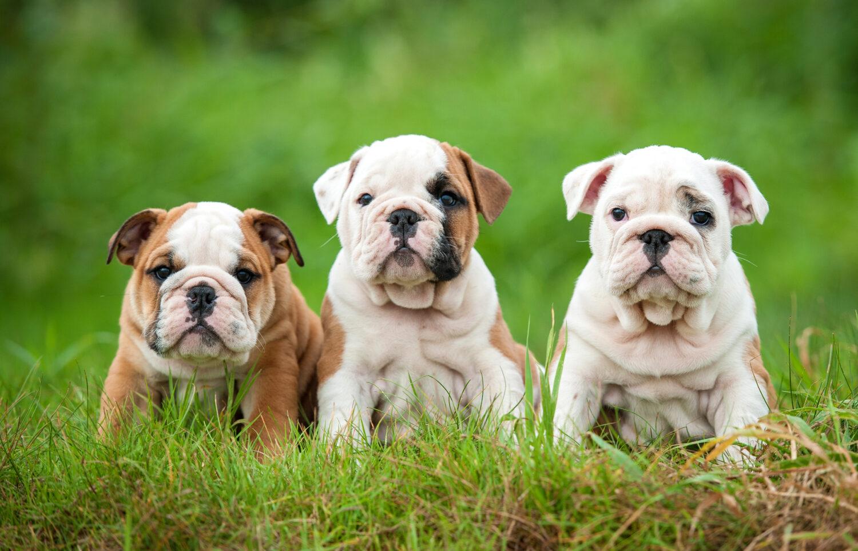 3 Englische Bulldoggen Welpen