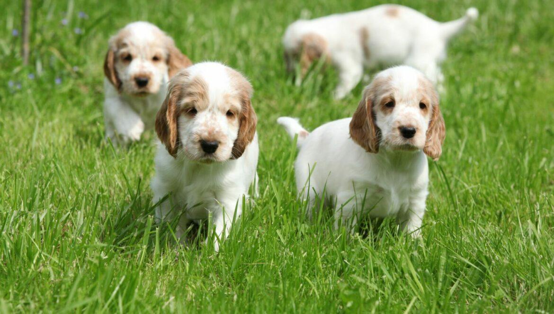 Bei dem Kauf eines Welpen sollte auf die Gesunheit der Elterntiere geachtet werden