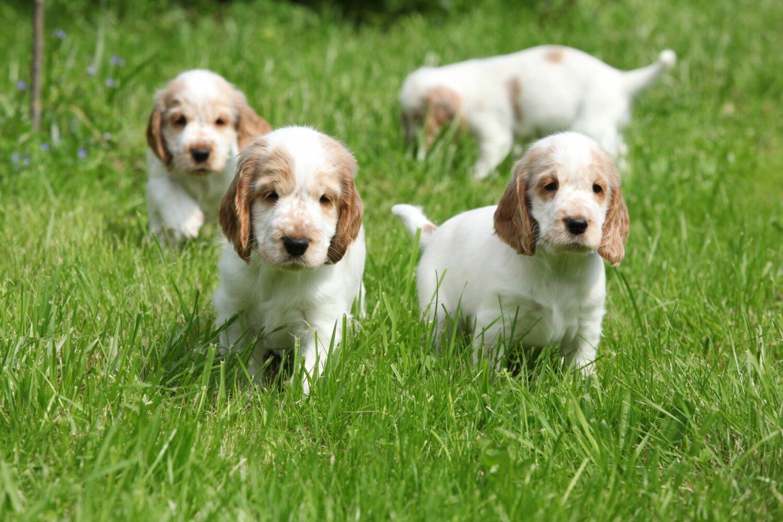 Bei dem Kauf eines Welpen sollte auf die Gesundheit der Elterntiere geachtet werden