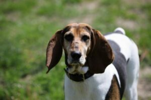 English Foxhound von vorne