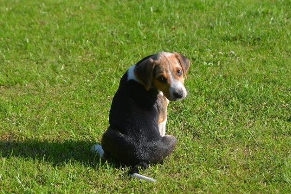English Foxhound als Welpe