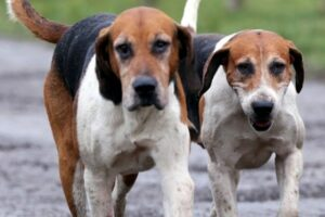 English Foxhound zu zweit