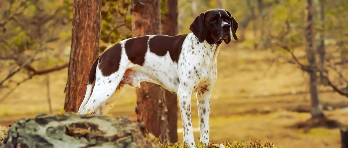 English Pointer auf der Jagd