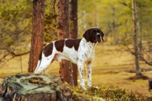 English Pointer in der Natur