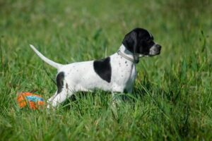 English Pointer Welpe