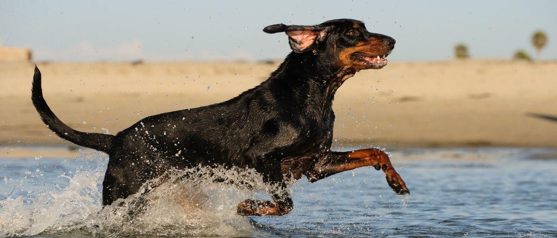 English Toy Terrier im Wasser