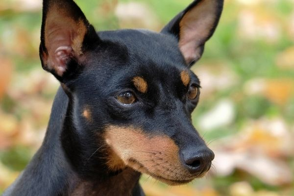English Toy Terrier Welpe