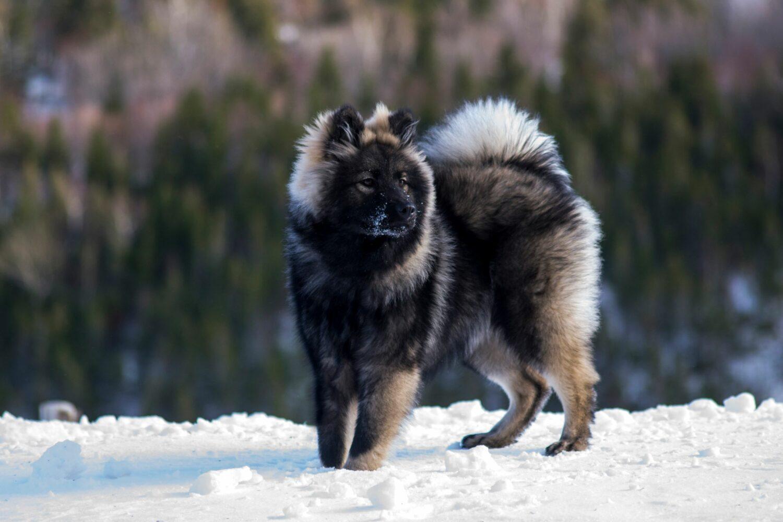 Der Eurasier soll alle Eigenschaften eines idealen Familienhundes verkörpern