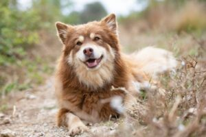 Finnischer Lapphund im Liegen
