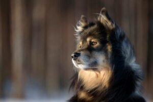 Finnischer Lapphund Kopf