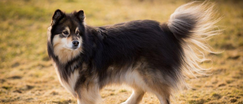 Finnischer Lapphund von der Seite