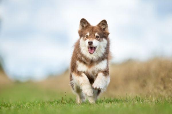 Finnischer Lapphund Welpe