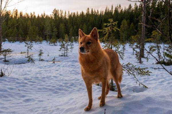 Finnischer Spitz im Schnee