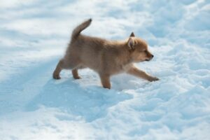 Finnischer Spitz Welpe im Schnee