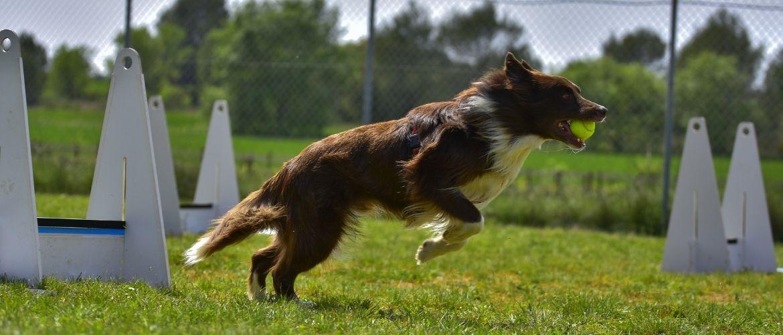 Flyball: Hund im Sprung