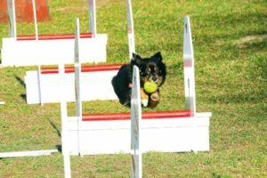 Flyball: Hund läuft mit Ball im Mund durch den Parcours