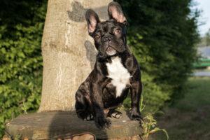 Französische Bulldogge in der Natur