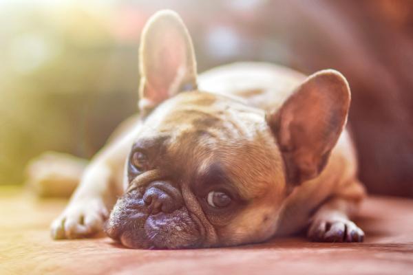 Französische Bulldogge im Liegen