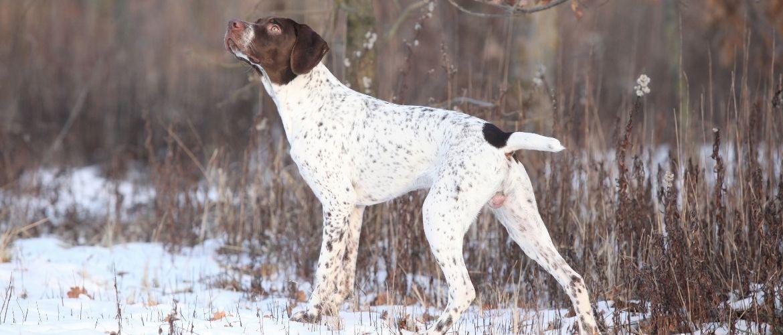 Französischer Vorstehhund im Schnee