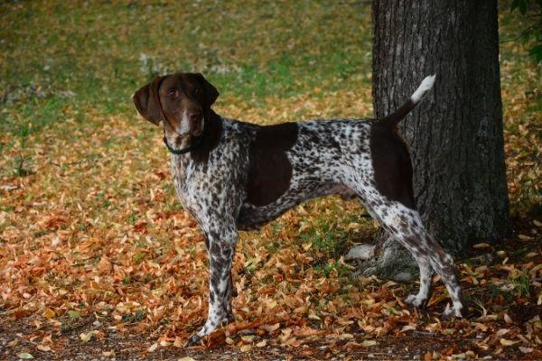 Französischer Vorstehhund von der Seite
