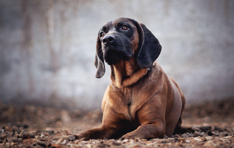 Hannoverscher Schweißhund im Liegen