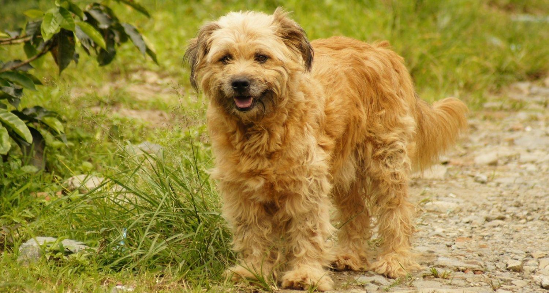 Hollandse Smoushound