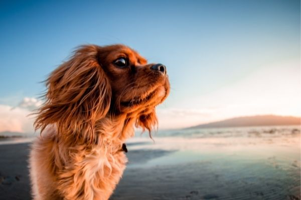 Intelligente Hunderassen: Hund am Meer