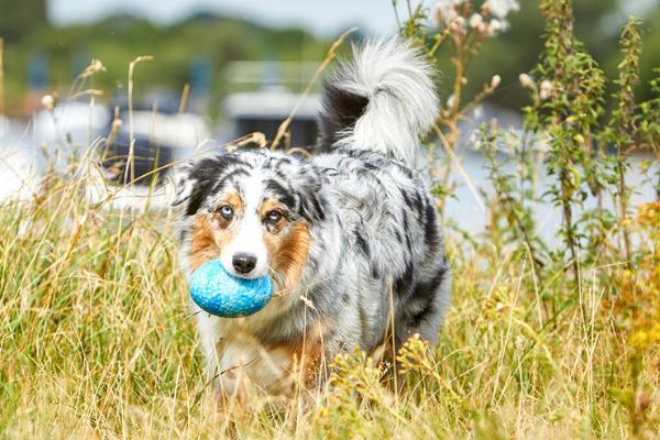 hund-apportieren-beibringen-australian-shepherd-im-gras