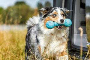 hund-apportieren-beibringen-australian-shepherd-spielzeug