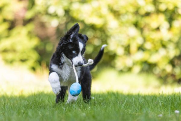 hund-apportieren-beibringen-welpen