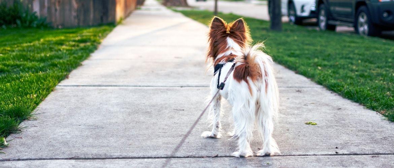 Hund steht auf einem Gehweg und schaut nach vorne