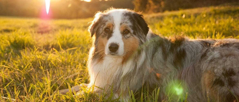 Hund liegt auf einer Wiese beim Sonnenuntergang