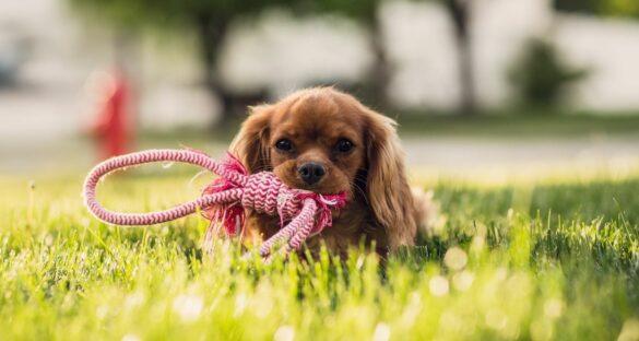 Hund Aus beibringen: Welpe knabbert an einem Strick